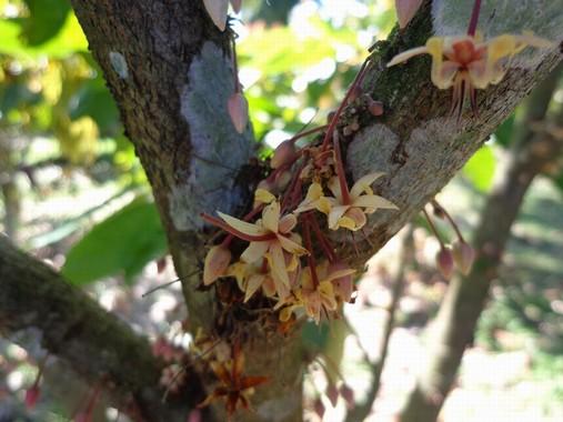 Fiori di cacao