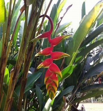 fiore heliconia rosso e giallo