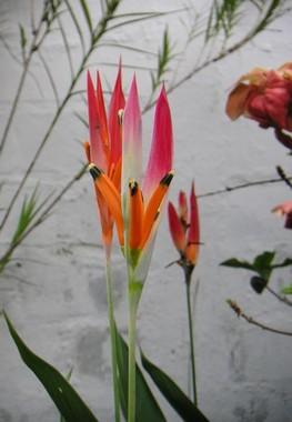 fiori con pistilli sottili rosa