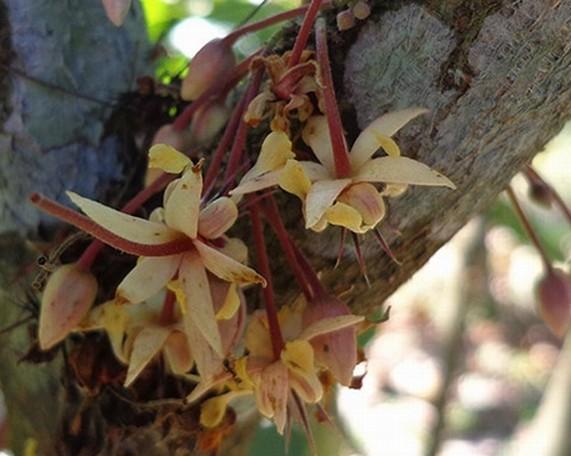 fiori cacao tanti buona